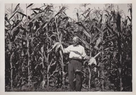 Campo di granoturco - Archivio di Stato di Oristano prot. 732 del 21-07-2016
